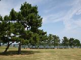Tree of city pine